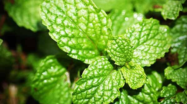 Peppermint essential oil benefits - from Lavender All Natural Cosmetics experts