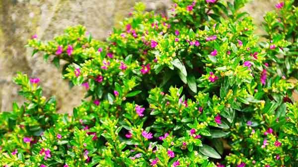 myrtle essential bush - lavender all natural cosmetics