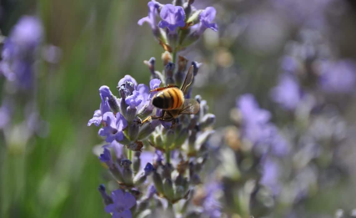 lavender for body butter