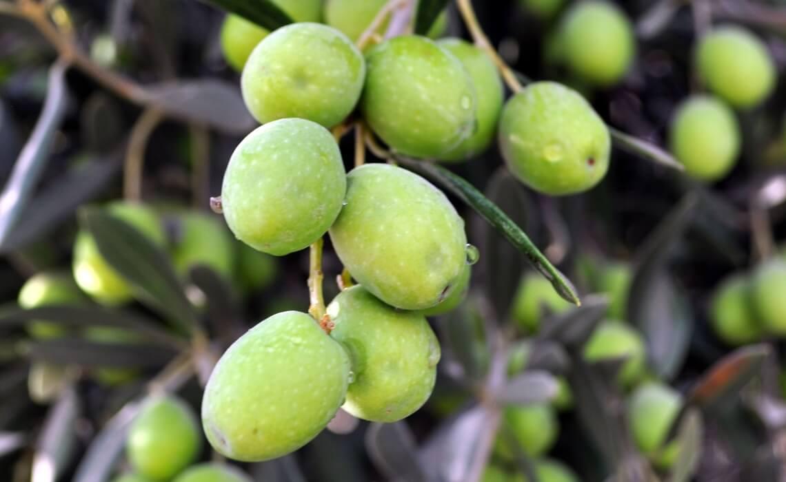 olive oil natural shampoo